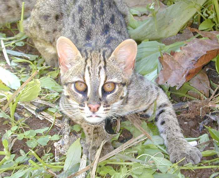 Native Leopard cat released 2