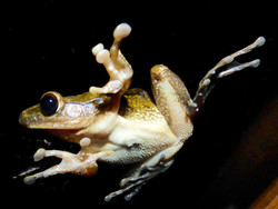 Native frog