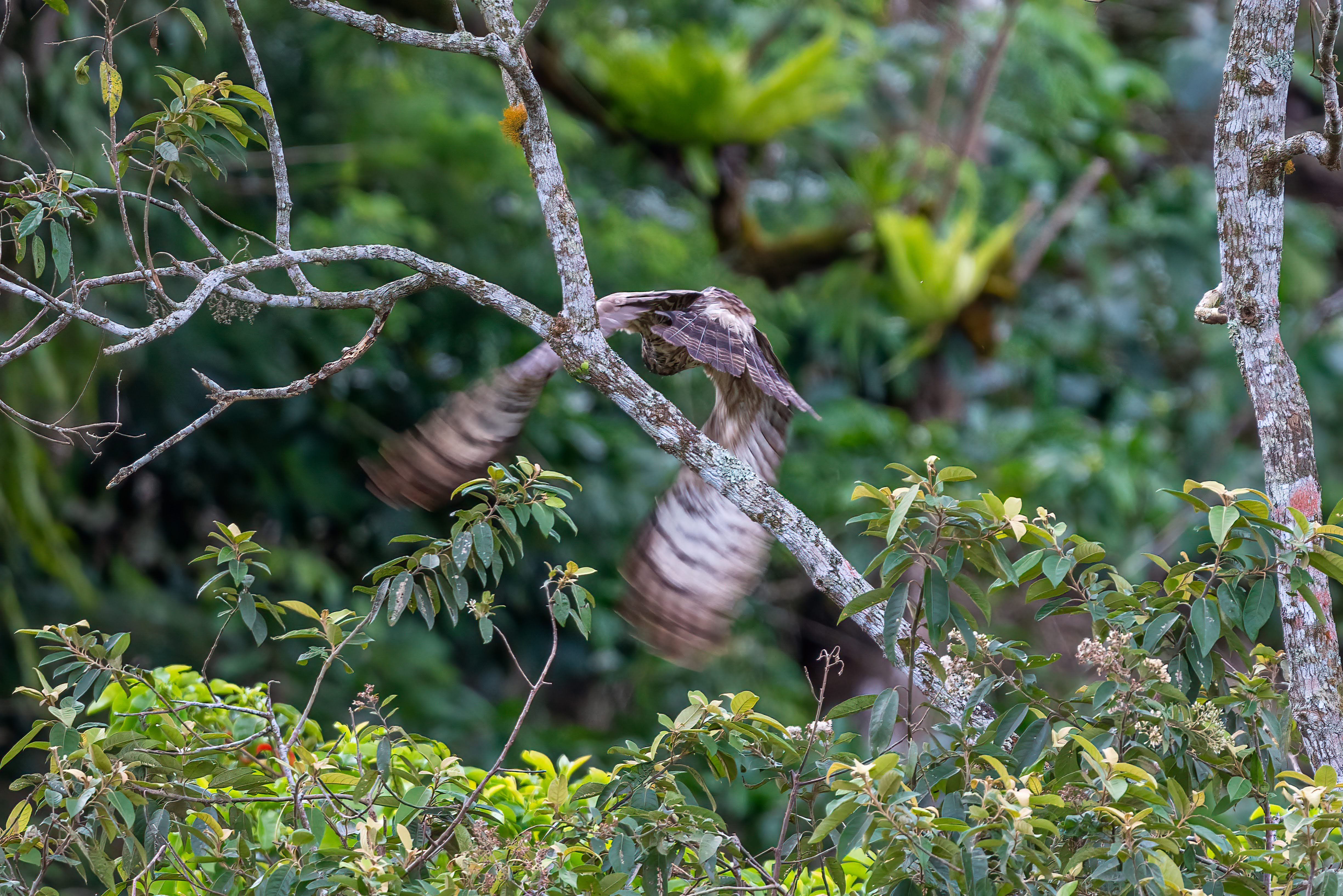 Oriental honey buzzard -photo by Janick Claes