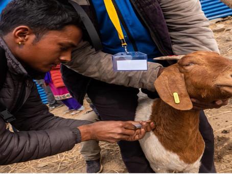 Også gederne skal vaccineres