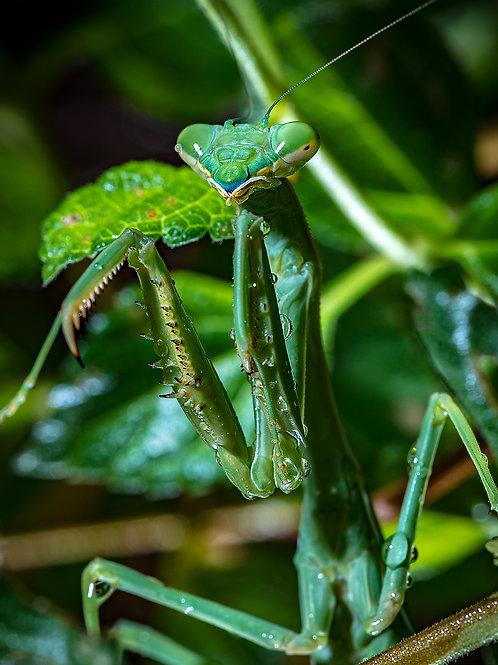 Rainy Day Mantis