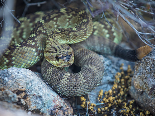 Arizona Black-tailed Rattlesnake