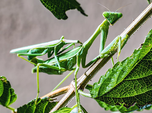 Mantis Mating