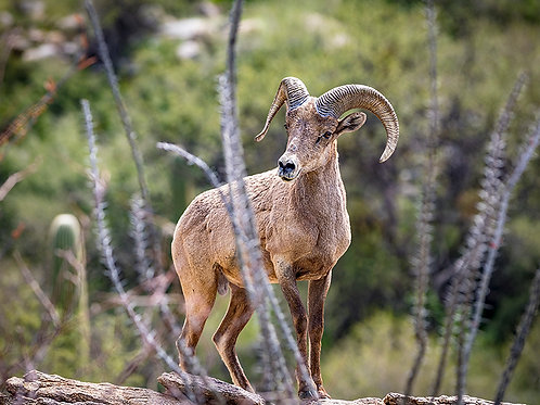 Bighorn Sheep Arizona