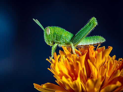 Grasshopper on Marigold