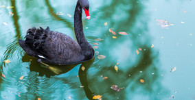 Black Swans And What They Mean for Your Organisation
