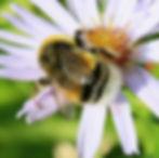Bombus_lucorum_(White-tailed_bumblebee)_