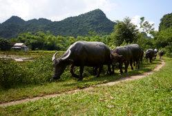 Vietnam_Cows.jpg