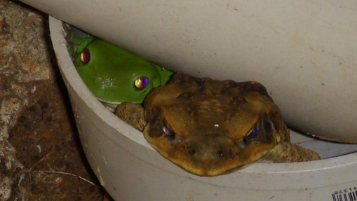 Being Cruel to Cane Toads