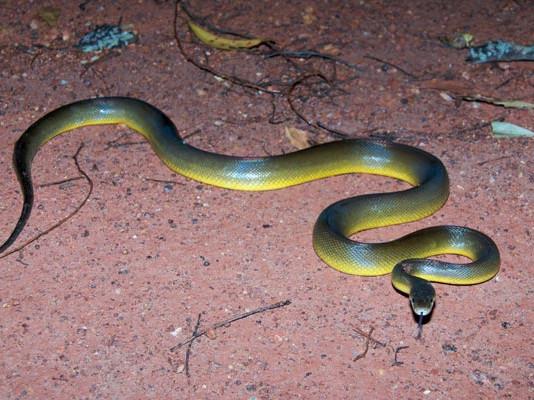 Snakes: Venomous or Non-Venomous