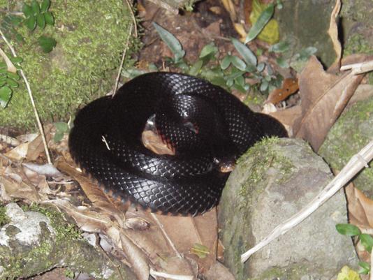 Bullying the Black Snake