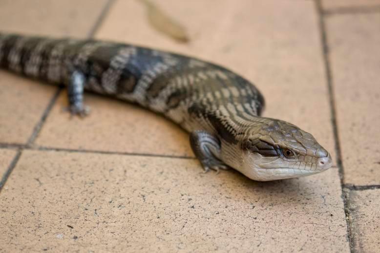 The suburban blue-tongue lizard