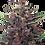 Thumbnail: Buddha Purple Kush