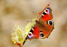 peacock-butterfly1-300x214.jpg