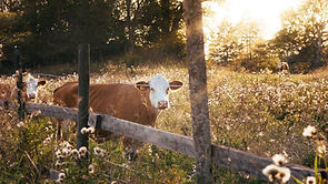 cows in sustainble biodiverse field.jpg