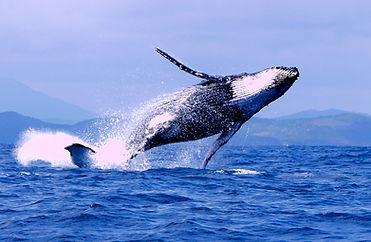 Baleines à madagascar, baleines à bosses à nosy be, baleines à bosses, requin baleine, dauphins à madagascar, voyage à madagascar