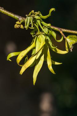 Fleur d'Ylang Ylang