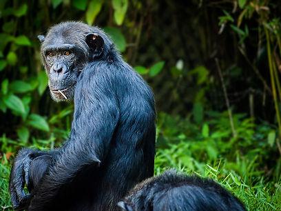Chimpanzee Tanzania