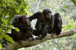 Tanzania Chimpanzee