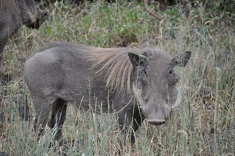 Tanzania Warthog