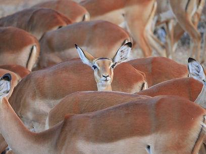 Antelope Tanzania