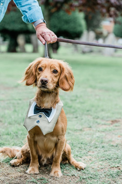 A Dog dressed as a groomsman for a wedding