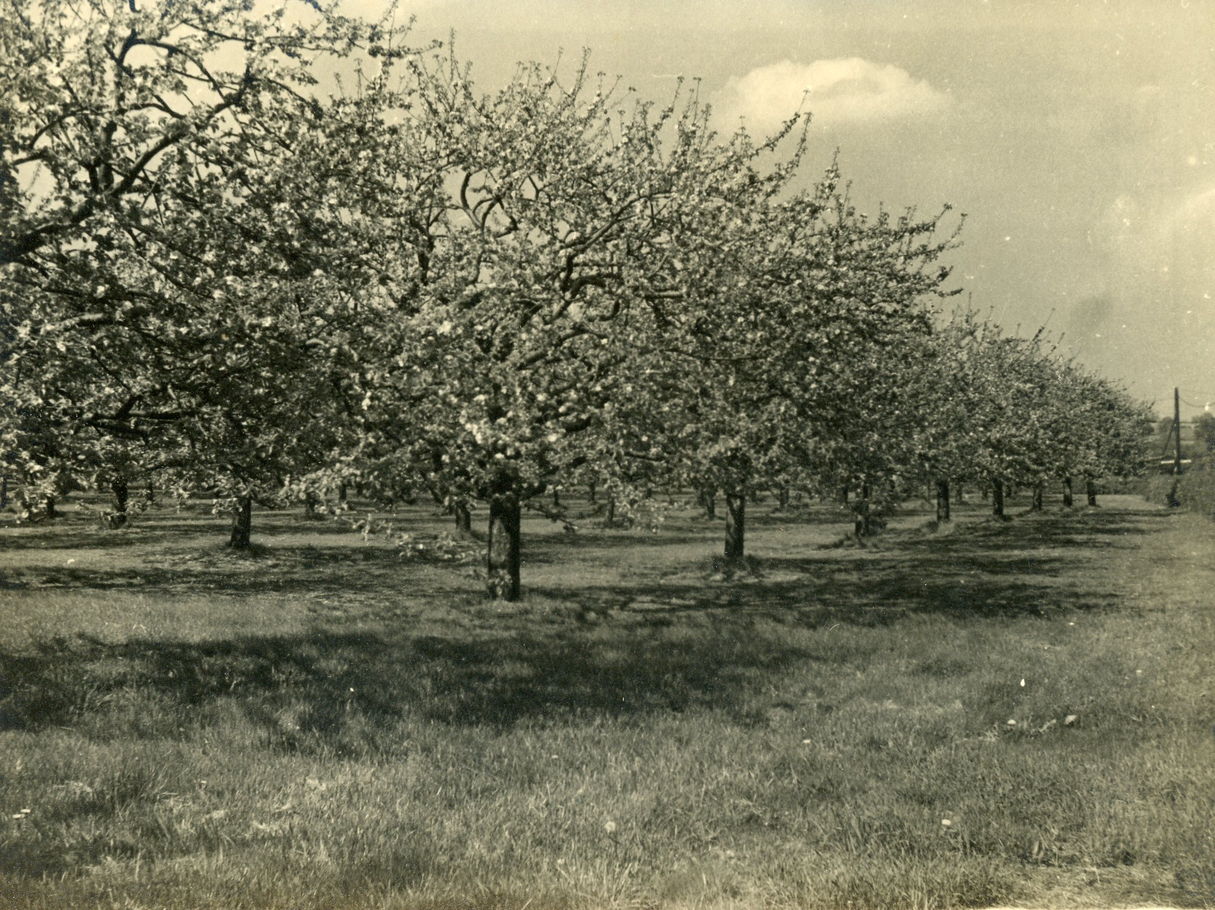 Orchard in Blossom 111.jpg