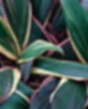 planta-cordiline-yael-gossis.png