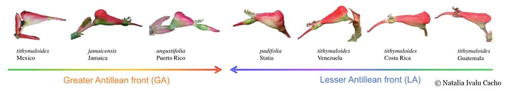 Morphology of Flower of Euphorbia tithymaloides (c)Natalia Ivalu Cacho