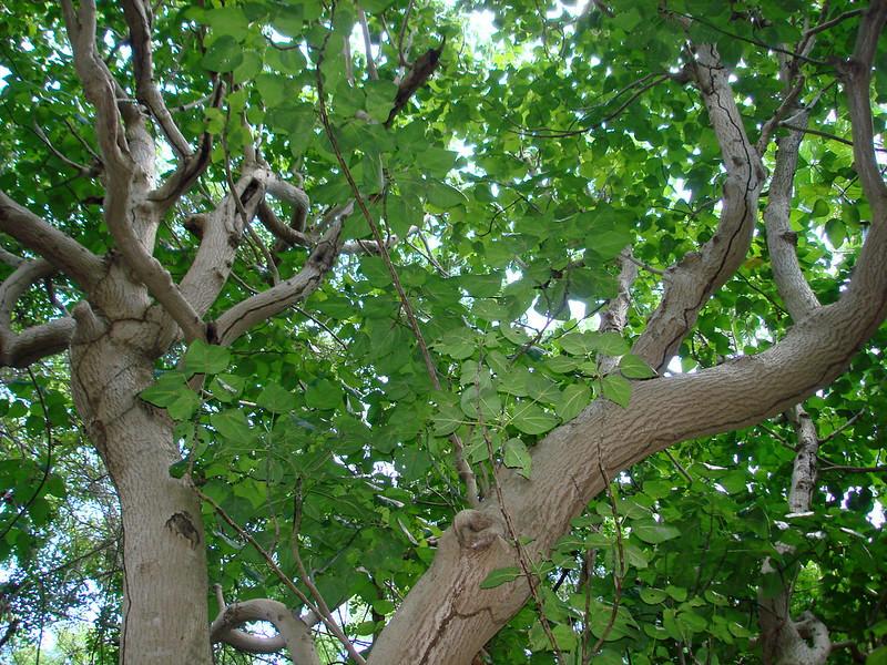 Hernandia sonora, mirobolan, un arbre rare, considéré vulnérable en Guadeloupe
