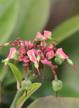 Euphorbia_tithimalodies_Delome.JPG