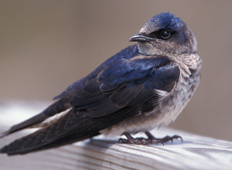 Lessons from Purple Martins