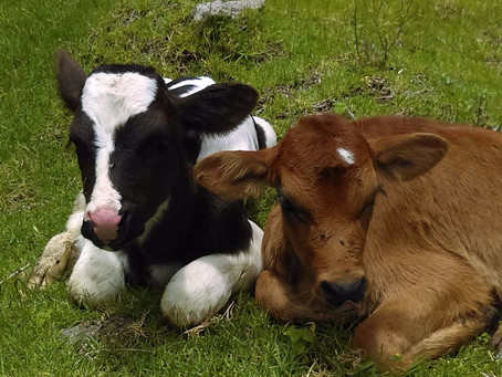 Precious Moments in the Calving Pasture