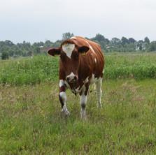 Unsere weiblichen Rinder