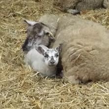 Die Lammzeit