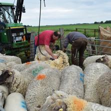 Die Schafe bei der Schur