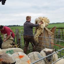 Die Wolle wird gesammelt