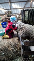 Schafe-Knuddeln
