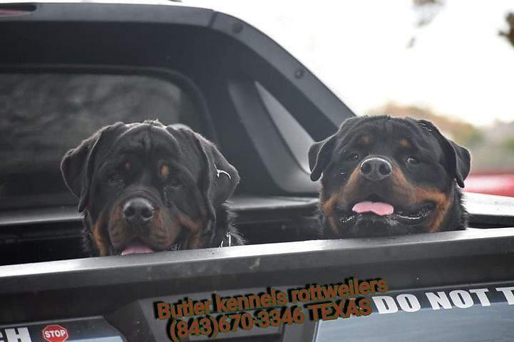 Our Dogs | Butler Kennels Rottweilers