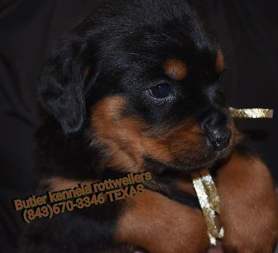 Butler Kennels Rottweilers Dog Breeding