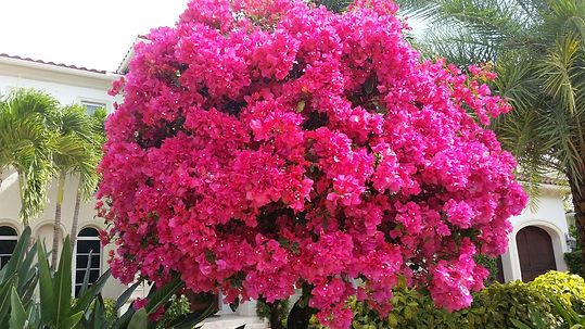 Bougainvillea James Walker.jpg