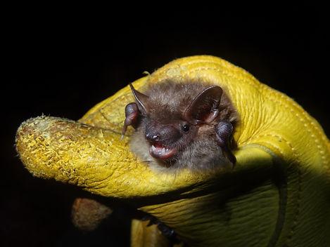 big brown bat caught in High Park Cylita Guy
