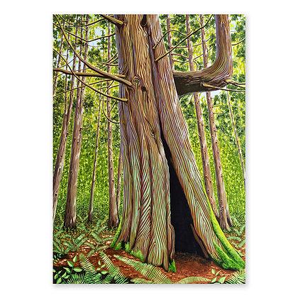 """""""Elder Cedar"""""""