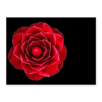 """""""Camellia"""""""
