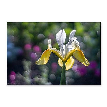"""""""Iris"""""""