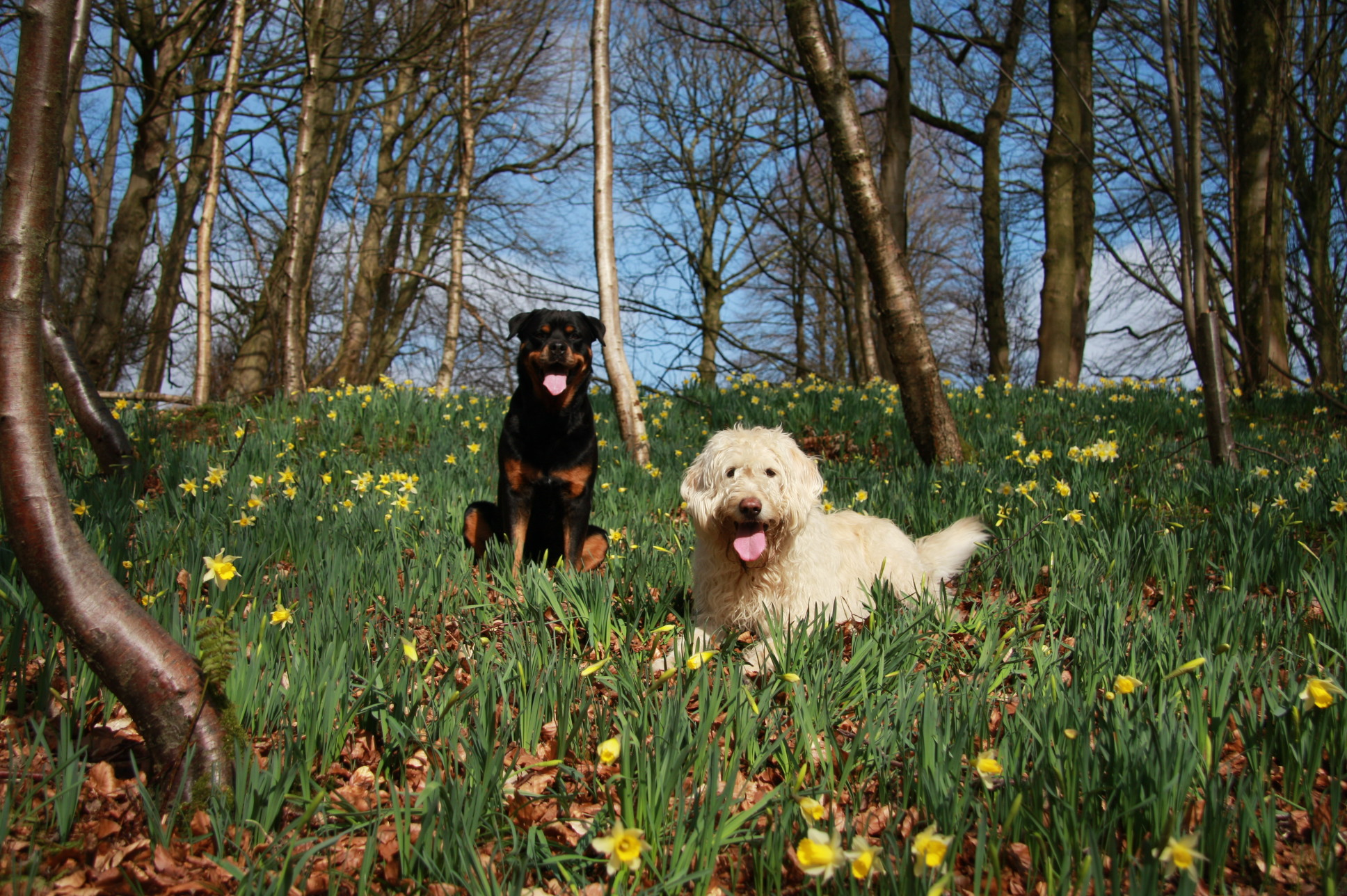 Dogs and Daffodils