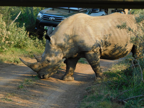Why did the rhino cross the road?