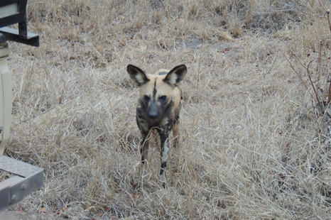 One of the rarer sights - Wild Dogs!
