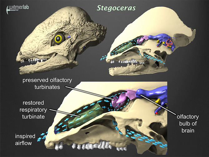 Pachycephalosaur noses hit the news
