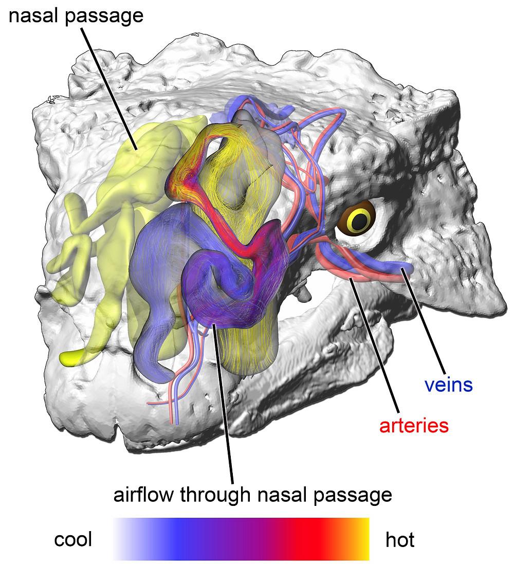 Euoplocephalus airflow